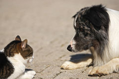 Dog and cat, head to head. Heads of dog and cat, looking at each other head to head royalty free stock photo