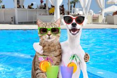 Dog and cat hugging each other, holding cocktails in paws. Dog Jack Russell Terrier and cat in sunglasses, hugging each other, holding cocktails in paws on the royalty free stock photos