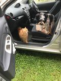 Dog and cat inside the car. A pet dog and a cat inside the car waiting for the owner Stock Image