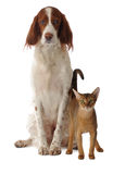 Dog and cat. Isolated, studio royalty free stock images