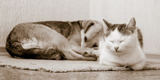The dog and the cat are lying on the carpet together. Dog and cat are friends_ stock photos