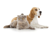 Dog, cat and mouse. Isolated on white background royalty free stock photo