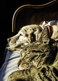 Dog and cat nap. Portrait of male cat and female dog sleeping together Stock Image