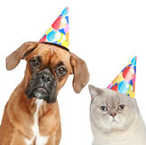 Dog and cat in party hat. German Boxer and British cat in party cones. Studio shot, isolated on white background Royalty Free Stock Photos