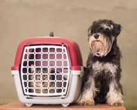 Dog, cat and pet carrier. Tabby cat in pet carrier and Miniature Schnauzer sitting beside Royalty Free Stock Image
