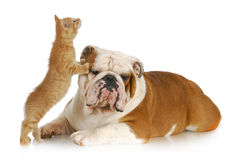 Dog and cat playing. English bulldog and kitten playing on white background