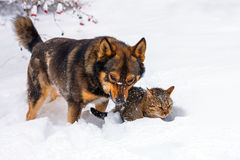 Dog and cat playing in snow Stock Images