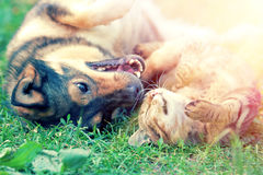 Dog and cat playing together Royalty Free Stock Images