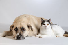 Dog and Cat Relationship. Relationship assertive posed dog and cat laying together on a seamless white background Stock Image