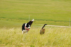 DOG AND CAT RUNNING ON MEADOW. Dog and cat were running free side-by-side in wind on vast prairie Stock Images