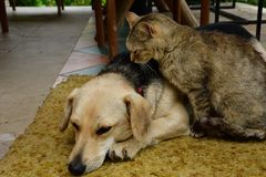 Dog and cat sadness in the eyes. Cat and dog to lounge together as a best friends sadness in eyes Stock Photo
