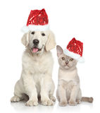 Dog and Cat in Santa red hat. Cat and dog in Santa red hat. Golden Retriever puppy and Burmese kitten on white background Royalty Free Stock Photos
