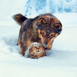 Dog and cat in snow. Dog and cat playing outdoor in deep snow Stock Photos