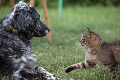 Dog and cat together,. Cat and dog play together Royalty Free Stock Photo