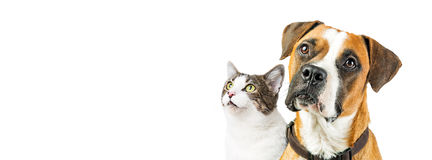 Dog and Cat Together on White Horizontal Banner. Closeup of attentive mixed breed Boxer dog and cat together looking up into blank white copy space on a Royalty Free Stock Photography