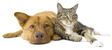 Dog and Cat together wide angle. Dog and cat together on white background. Wide angle picture Stock Photo