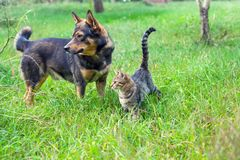 Dog and cat walking together. Dog and cat best friends walking together outdoor on the grass royalty free stock image