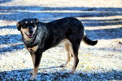 Dog catahoula and Austrian Shepard mix. Catahoula and austrain shepard mix dog happy family pretty dog stock images