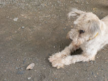 Dog with cataract Stock Image