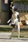 Dog catch bone. Black and white dog catching a bone Royalty Free Stock Images