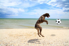 Dog catches the ball. Dog on the beach of Azov Sea catches the ball thrown to her Royalty Free Stock Photo