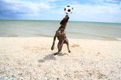 Dog catches the ball. Dog on the beach of Azov Sea catches the ball thrown to her Stock Photography