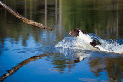 Dog catches a branch in the water. A dog jumps into the water and catches a branch Stock Photography