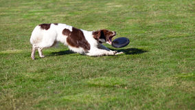 Dog catches a disc. A dog on the grass catches a disc with his mouth Stock Images
