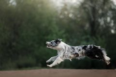 The dog catches the disc. Sports with the pet. Active Border Collie. Outside stock photography