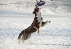 Dog catches disk Royalty Free Stock Images