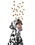 Dog catches the dry food falling from above Royalty Free Stock Image