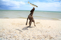 Dog catches a fish. Dog on the beach of Azov Sea fish catches abandoned her Stock Photography