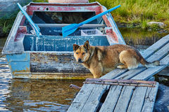 The dog catches small fish on a mooring. Jack London's lake. Autumn Stock Photos