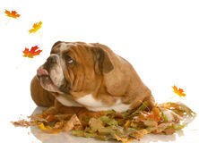 Dog catching autumn leaves Stock Images