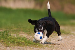 Dog is catching a ball Stock Photography