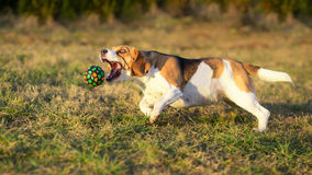 Dog catching a ball Royalty Free Stock Photos