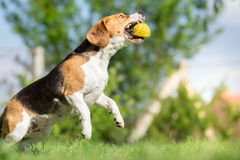 Dog catching a ball. Beagle dog catching a ball stock photo
