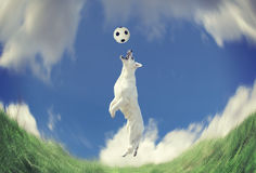 Dog catching a ball in midair. White dog catching a ball in midair. Motion blured and stylized Stock Images