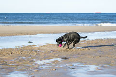 Dog catching ball on sand. Black Labrador catching a ball whilst playing on the beach Stock Photos