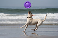 Dog catching the disc. In the beach Stock Photo