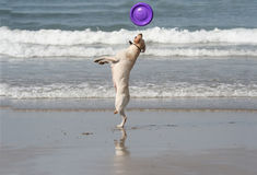 Dog catching the disc royalty free stock photography