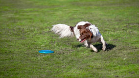 Dog catching a disc in a meadow. On a sunny summers day Royalty Free Stock Photo