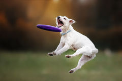 Dog catching disk in jump. Pet playing outdoors in a park. flying disk stock photography