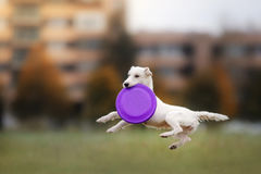 Dog catching disk in jump Stock Images