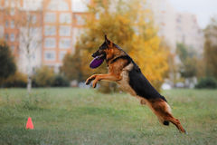 Dog catching disk in jump Royalty Free Stock Photos