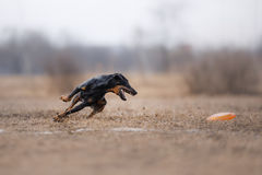 Dog catching flying disk Royalty Free Stock Image