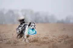 Dog catching flying disk Royalty Free Stock Photography
