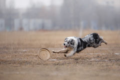 Dog catching flying disk Royalty Free Stock Photo
