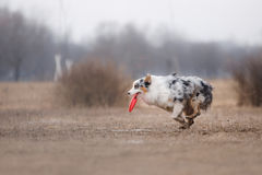 Dog catching flying disk Stock Photography