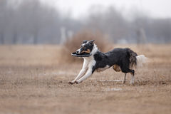 Dog catching flying disk Stock Photo